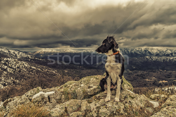 Border Collie dog sitting on rock with snow covered mountains in Stock photo © Joningall
