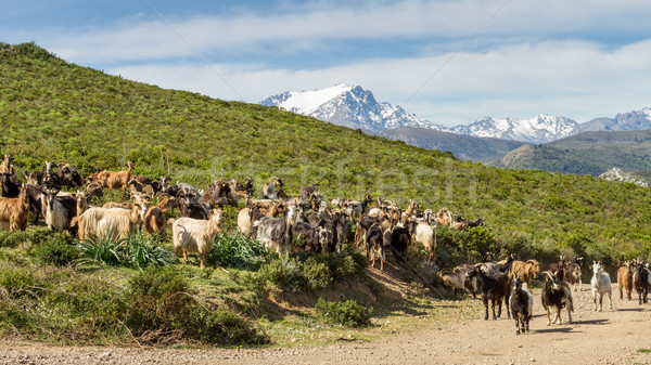 Herd of goats in Corsica with snow capped mountains Stock photo © Joningall