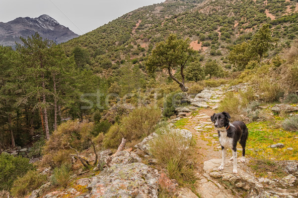Сток-фото: Бордер · колли · собака · долины · Корсика · Постоянный