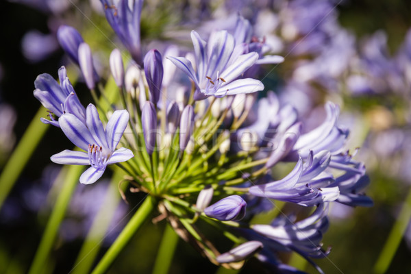 Agapanthus flower in bloom Stock photo © Joningall