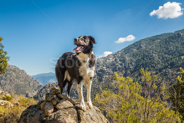 Border collie dog on rocky outcrop in Corsica Stock photo © Joningall