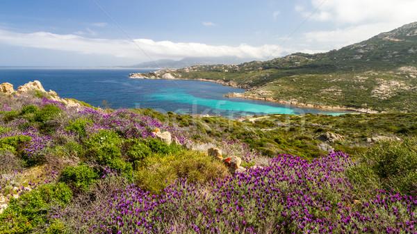 Púrpura flores córcega mediterráneo Foto stock © Joningall