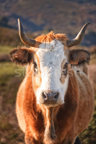 Corsican Cow at Col de San Colombano Stock photo © Joningall