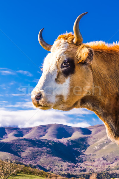 Corsican Cow at Col de San Colombano Stock photo © Joningall