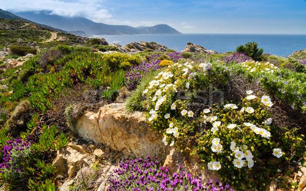 Mor beyaz çiçekler korsika çiçekler deniz Stok fotoğraf © Joningall