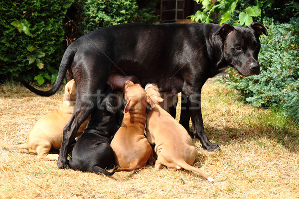 American Pit Bull Terrier as dog mother Stock photo © jonnysek