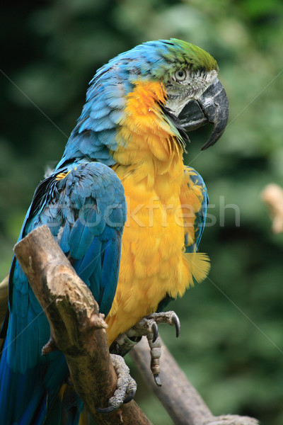 blue ara bird Stock photo © jonnysek
