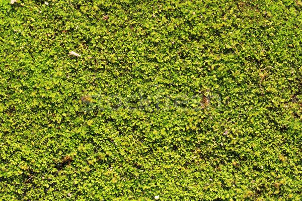 Moha textúra zöld természetes növény fű Stock fotó © jonnysek