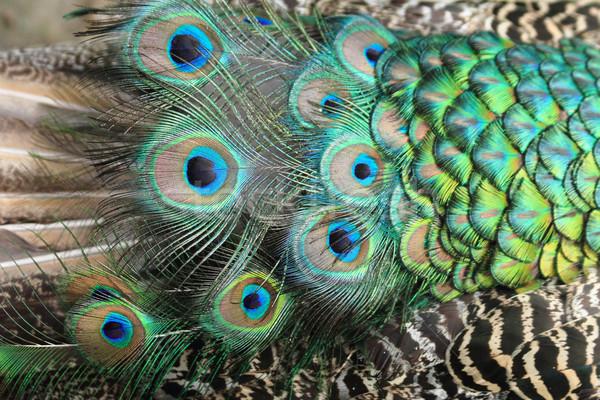 Tavuskuşu tüy doku güzel hayvan doğa Stok fotoğraf © jonnysek