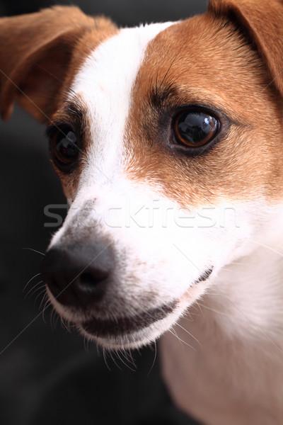 Jack russell terrier fej sötét kutya háttér fiatal Stock fotó © jonnysek