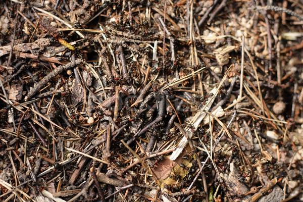 ant colony background Stock photo © jonnysek