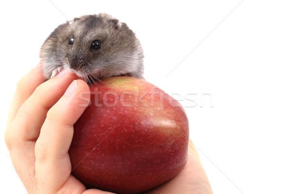 Myszą jabłko ludzka ręka strony włosy dłoni Zdjęcia stock © jonnysek