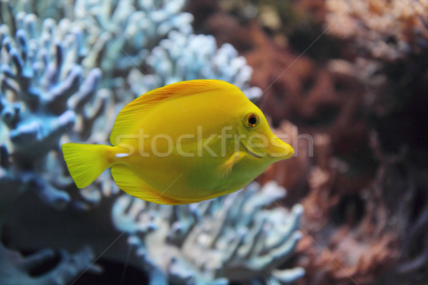 exotic fish Stock photo © jonnysek