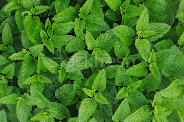 Doce de folhas bom verde naturalismo Foto stock © jonnysek