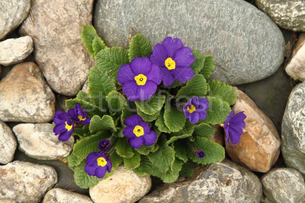 синий Nice природного рано весенний цветок цветок Сток-фото © jonnysek