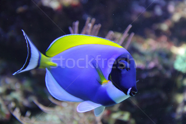 exotic blue fish  Stock photo © jonnysek