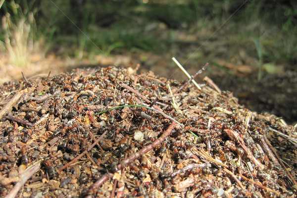 муравей колония Nice животного здании природы Сток-фото © jonnysek