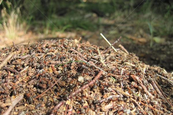 ant colony Stock photo © jonnysek