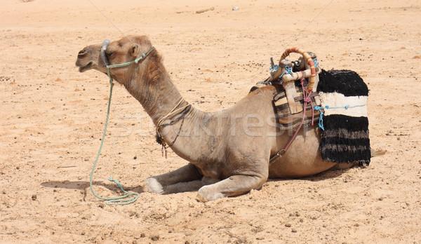 camel Stock photo © jonnysek