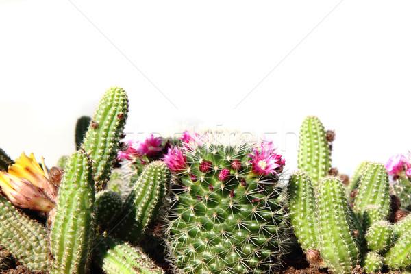 Kolekcja odizolowany biały kwiat wiosną charakter Zdjęcia stock © jonnysek