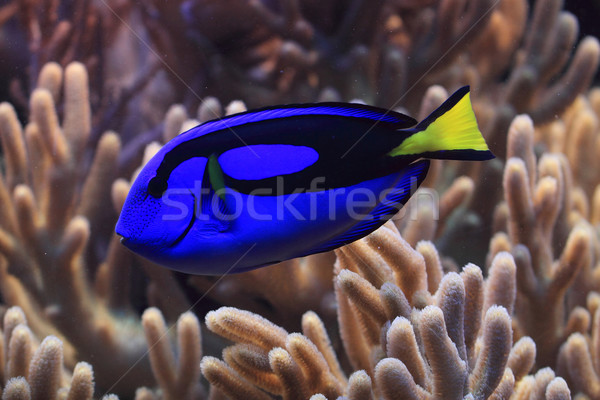 exotic fish in the sea  Stock photo © jonnysek