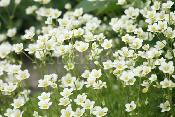 Witte bloem bloem voorjaar natuur tuin achtergrond Stockfoto © jonnysek