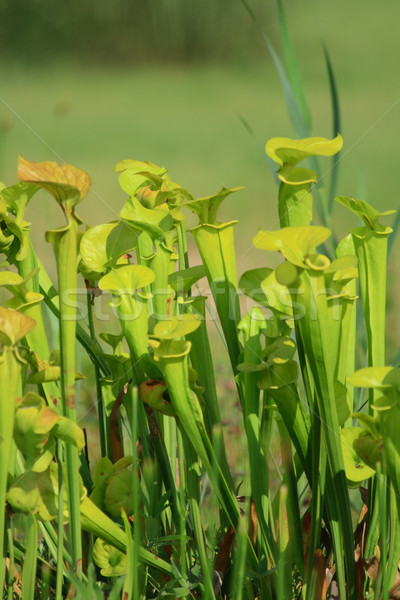 carnivorous plant Stock photo © jonnysek