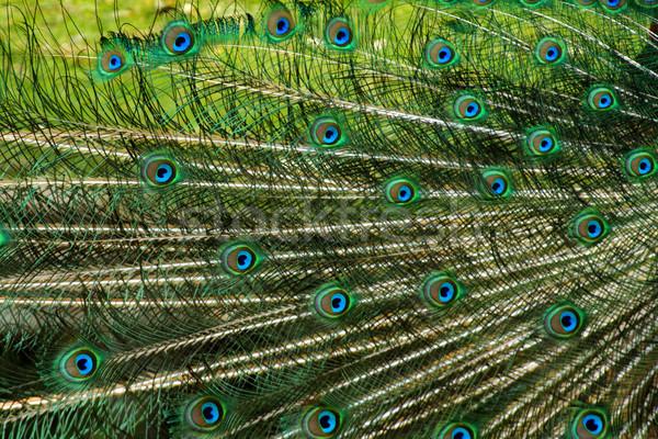Paon oiseau texture Nice animaux oeil Photo stock © jonnysek