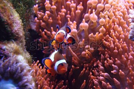 clown fish (nemo) Stock photo © jonnysek