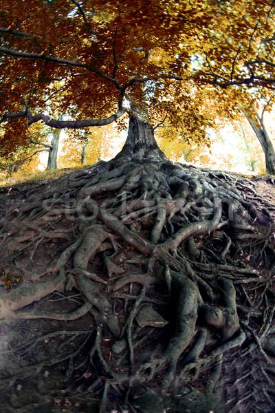Vieux arbre tchèque forêt herbe nature Photo stock © jonnysek
