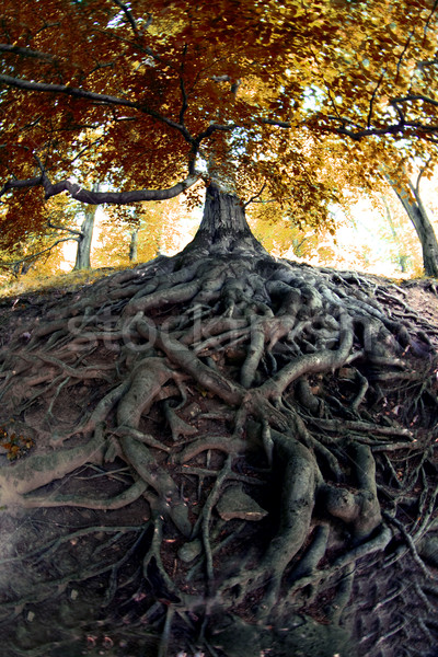 старые дерево чешский лес трава природы Сток-фото © jonnysek