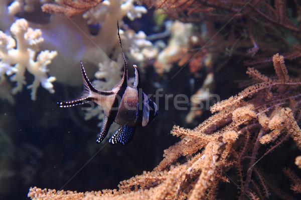 Exotisch koraal vis Blauw zee achtergrond Stockfoto © jonnysek