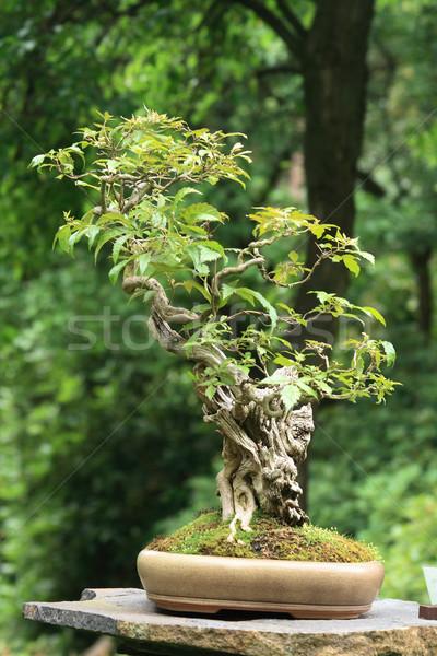 Bonsai fa botanikus kert Prága természet kert Stock fotó © jonnysek