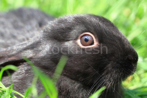Siyah tavşan çim küçük yeşil ot Paskalya Stok fotoğraf © jonnysek