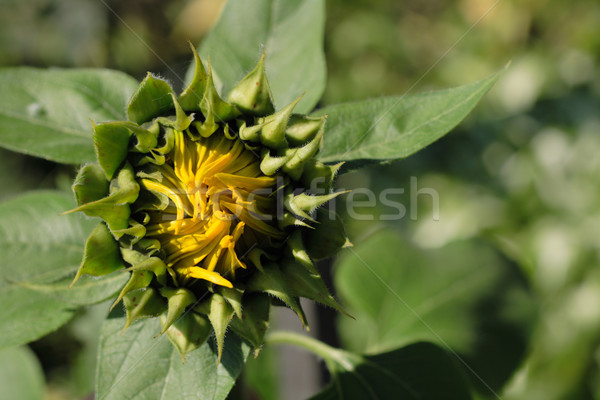 nature background with nice spring sunflower Stock photo © jonnysek