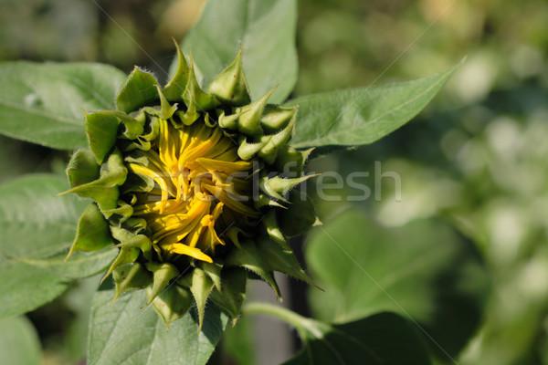 Naturaleza agradable primavera girasol flor sol Foto stock © jonnysek