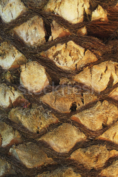 palm tree trunk texture Stock photo © jonnysek