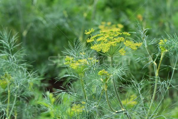 dill plant and flower Stock photo © jonnysek