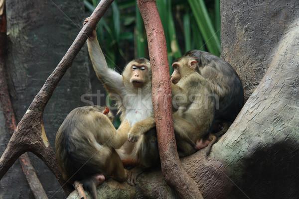 небольшая группа лице рок красный обезьяны тропические Сток-фото © jonnysek