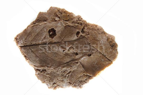 Blad print steen fossiel geïsoleerd witte Stockfoto © jonnysek