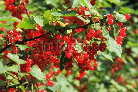 Rouge groseille usine fraîches naturelles fruits d'été Photo stock © jonnysek