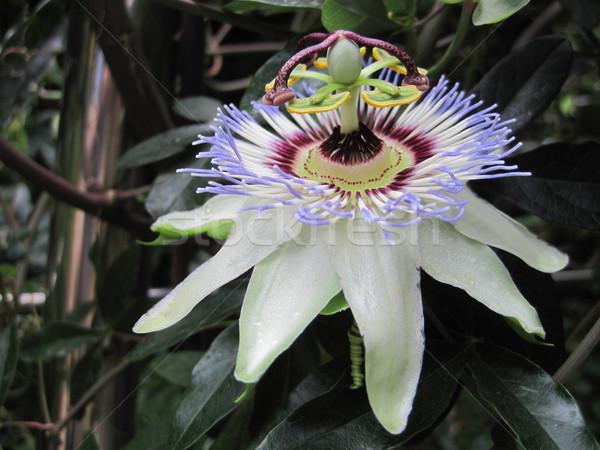 Güzel tutku çiçek bahar manzara meyve Stok fotoğraf © jonnysek