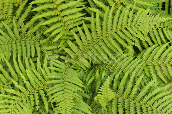 green leafy background from the forest Stock photo © jonnysek