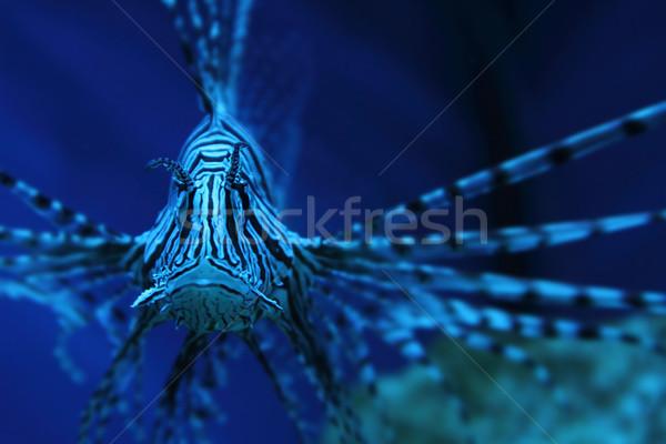 lion fish (dragonfish, scorpionfish) Stock photo © jonnysek