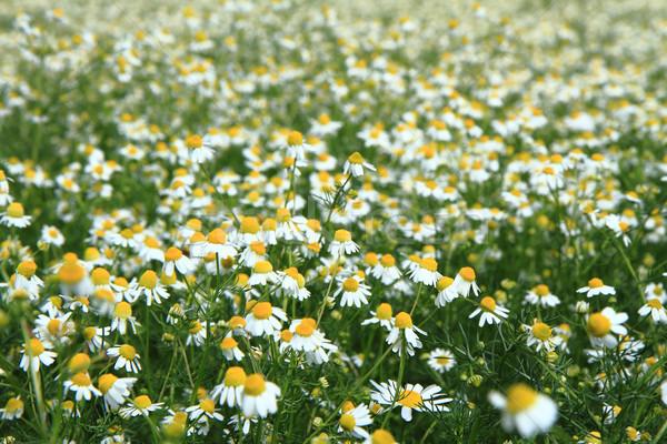 chamomile field  Stock photo © jonnysek