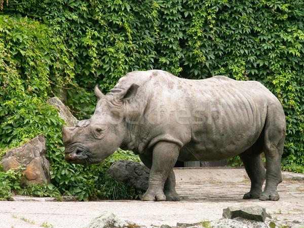 носорог рок место зеленый фон черный Сток-фото © jonnysek