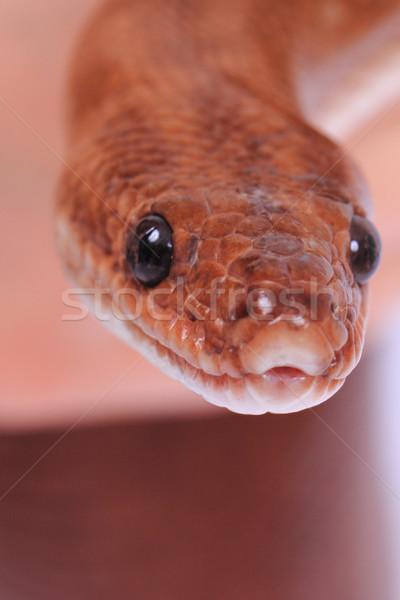 Gökkuşağı yılan detay küçük kafa doğa Stok fotoğraf © jonnysek