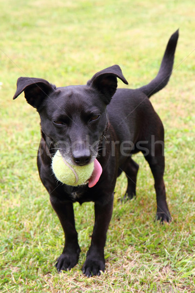 black dog as tennis player Stock photo © jonnysek