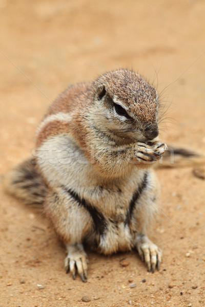 exotic squirrel  Stock photo © jonnysek