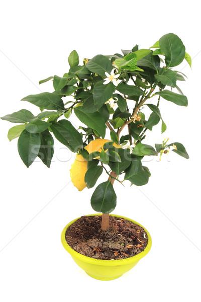 lemon tree Stock photo © jonnysek